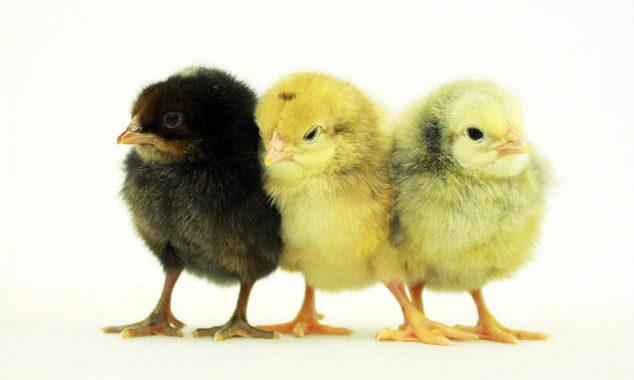 Homeless Chicks